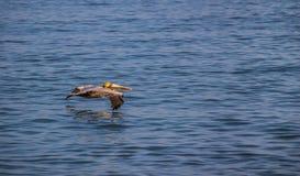 Vatten för pelikanflyg över - Arkivbilder
