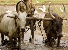 vatten för rice för buffelfältpaddy plöja Royaltyfri Foto