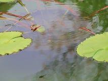 vatten för vektor för modell för bakgrundsfärgillustration seamless Lotus Leaf Background Royaltyfri Foto