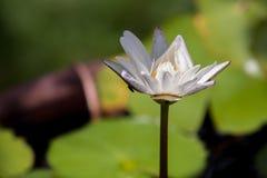 Vatten för vit lotusblomma Arkivbilder