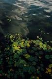 vatten för vykort för damm för liljar för bild för bakgrundsdatordiagram Arkivbild