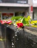 Vatten från flöden för en springbrunn ner över röda rosor arkivbild