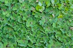 Vatten Hyacinth Leaves i floden Royaltyfria Bilder
