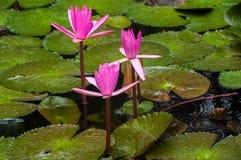 Vatten Lilly Royaltyfria Foton