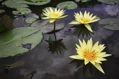 Vatten lilly arkivfoto