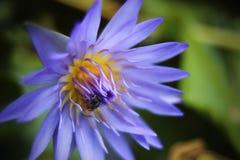 Vatten lilly med biet Arkivfoto