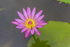 Vatten lilly och bi Fotografering för Bildbyråer