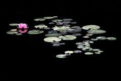 Vatten Lily Amongst Lily Pads i ett damm Royaltyfria Bilder