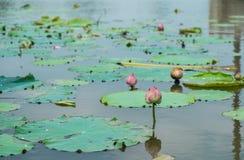 Vatten Lily Bud Fotografering för Bildbyråer