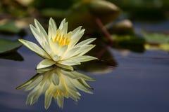 Vatten Lily Flower Fotografering för Bildbyråer