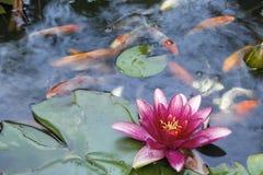 Vatten Lily Flower Blooming i Koi Pond Arkivfoton
