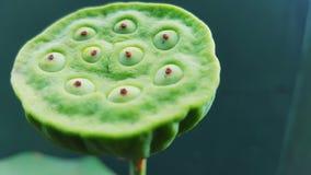 Vatten Lily Fruit royaltyfri bild
