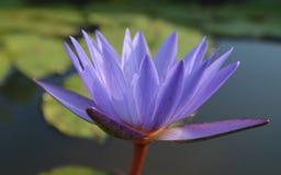 Vatten Lily Lotus Fotografering för Bildbyråer