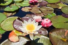 Vatten Lily Mix Royaltyfri Foto