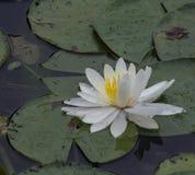 Vatten Lily Pad Royaltyfri Foto