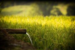 Vatten och ris är betydelse för liv Royaltyfri Fotografi