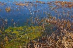 Vatten- ogräs och andmat som växer på marginaler av våtmarker och träsk, yunnan, porslin, 在äº'å —  för é för æ› ² –, ä¸å› ½ royaltyfria foton