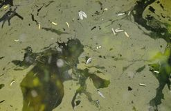 Vatten- ogräsfläck som svävar på vattenyttersida i pöl Royaltyfri Fotografi