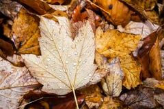 Vatten på det Autumn Fall bladet Royaltyfri Bild