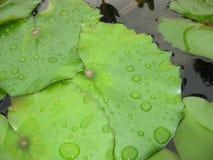 Vatten på Lily Pads Arkivbilder