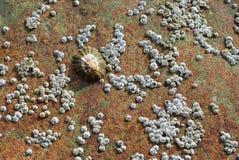 Vatten- snigel, skålsnäckaskal på en vagga Royaltyfri Foto