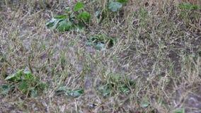 Vatten som översvämmas på torrt gräs lager videofilmer