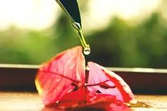 Vatten som tappar på den röda azalean Arkivfoto