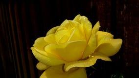 Vatten tappade den ljusa gula rosen royaltyfri foto