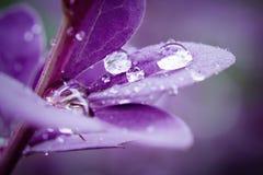 Vatten tappar burgundy sidor av barberryn?rbilden, den selektiva fokusen, bakgrund royaltyfri fotografi