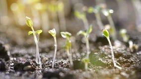 Vatten tappar hällande nya naturliga groddar stock video