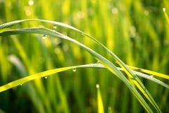 Vatten tappar på det gröna gräset i den varma morgonen Arkivfoto