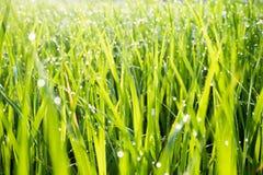 Vatten tappar på det gröna gräset i morgonuppvärmningsslutet Fotografering för Bildbyråer