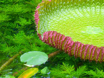 vatten- växt Royaltyfri Fotografi