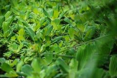 Vatten- växt på vatten, botanisk trädgård Arkivfoto