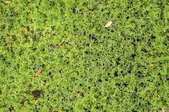 Vatten- växter Arkivbilder