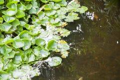 Vatten- växter Royaltyfria Bilder