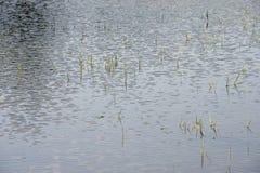 Vatten- växter i vattnet Royaltyfri Fotografi