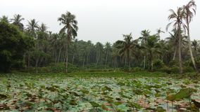 Vatten- växter som svävar på dammet Royaltyfri Fotografi
