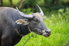 Vattenbuffel Fotografering för Bildbyråer