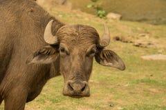 Vattenbuffel Royaltyfria Bilder