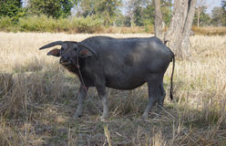 Vattenbuffel Arkivbilder