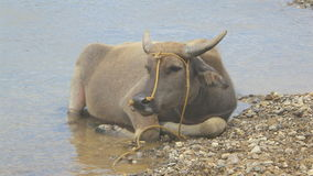 Vattenbuffel Royaltyfri Foto