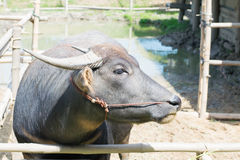 Vattenbuffel Arkivfoton