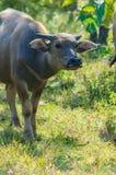 Vattenbuffel eller asiatbuffel på exponeringsglas Royaltyfri Fotografi
