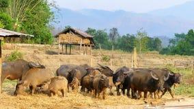 Vattenbuffel i bygdjordbruksmark arkivfilmer