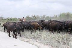 Vattenbuffel i den dammiga torra säsongen i Belize royaltyfria foton