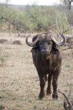 Vattenbuffel i den Kruger nationalparken Arkivbild