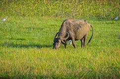 Vattenbuffel i morgonsolljus royaltyfria bilder