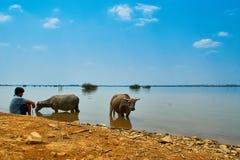 Vattenbuffel i och nära Mekong River i Kratie, Cambodja royaltyfri foto