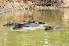 Vattenbuffel i och nära Mekong River i Kratie, Cambodja arkivbild
